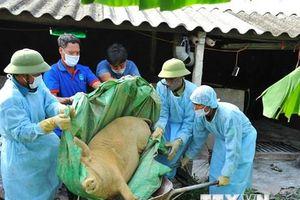 Siết chặt việc vận chuyển lợn, phòng chống dịch tả lợn châu Phi