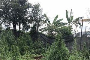 Gia Lai: Phát hiện một hộ dân trồng hơn 200 cây cần sa trong vườn và rẫy