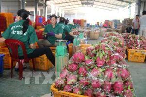 Lộ trình nào cho trái thanh long Việt Nam?