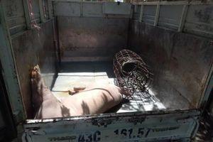 Đà Nẵng: Phát hiện tài xế chở lợn chết vào thành phố tiêu thụ