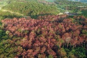 Nóng tình trạng 'bức tử' rừng thông ở Tây Nguyên