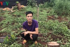 Phát hiện hộ dân trồng 220 cây cần sa trong vườn và rẫy