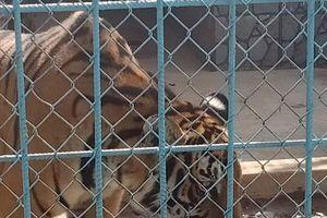 Điểm lại một số vụ hổ nuôi nhốt tấn công người ở Bình Dương