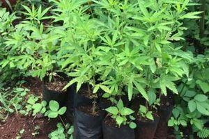 200 cây cần sa được trồng trong vườn nhà dân