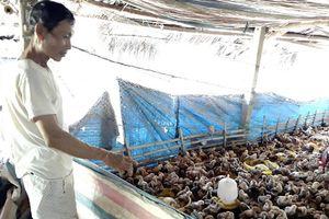 Trang trại gà trên vùng cát trắng