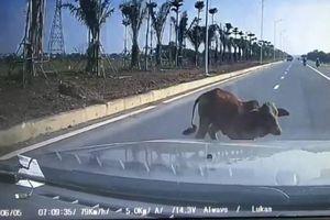 Clip ô tô chạy 80 km/h tông chết con bò qua đường, tài xế đền 4 triệu: Đúng hay sai?