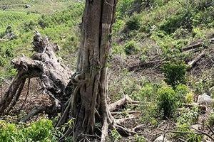 Người dân phá rừng dự án để trồng rừng keo