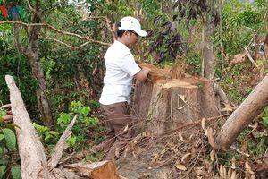 Ban quản lý rừng phòng hộ Đức Cơ để mất hơn 9.000ha rừng ở biên giới