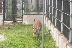Bình Dương: Đề nghị thu hồi giấy phép với cơ sở nuôi hổ tại Khu du lịch sinh thái Thanh Cảnh