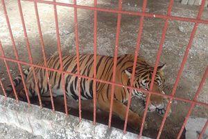 Chủ cơ sở nuôi hổ vừa cắn người ở Bình Dương từng bị xử lý hình sự