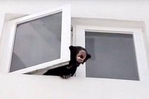 Ca sĩ Malaysia bị bắt vì nhốt gấu chó ở chung cư giữa thủ đô
