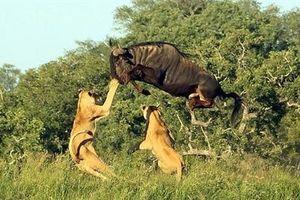 Chơi đòn hiểm, linh dương đầu bò thoát chết khỏi sư tử