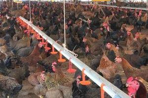 Độc đáo: Nhốt chung 3.000 gà mái + 300 gà trống, mở mắt ra có tiền
