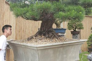 Doanh nhân Việt bỏ tiền tỷ mua bonsai Nhật; Dân thường 'sang chảnh' ăn đuôi tôm hùm 3 triệu đồng/kg