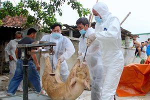 Nghệ An: Tiêu hủy trên 111 tấn lợn nhiễm dịch tả lợn châu Phi