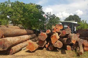 Truy tố hàng loạt cán bộ nhận tiền của trùm gỗ lậu Phượng 'râu'