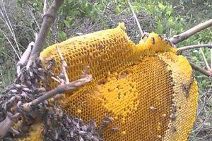 Từ ngày mai (10/6), lấy mật ong rừng sẽ bị phạt đến 3 triệu đồng