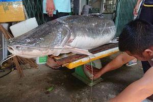 Cận cảnh cá lăng đuôi đỏ 'cực khủng' dính câu ở Đắk Lắk