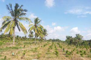 Giải pháp nào để 'cứu' Trung tâm dừa Đồng Gò (Bến Tre)?