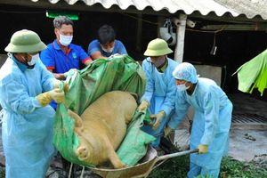 Thiệt hại do Dịch tả lợn châu Phi: 'Khát' nguồn kinh phí hỗ trợ