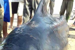 Xác cá voi nặng gần 1 tấn trôi dạt vào bờ biển Hà Tĩnh