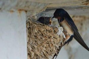 Sự thật về quan điểm 'chim én đến nhà là phú quý đại cát'