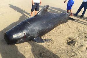 Phát hiện con cá voi nặng gần 1 tấn trôi dạt vào bờ biển