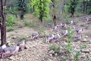 Quảng Ninh lên phương án đưa giống lợn quý ra đảo để bảo tồn