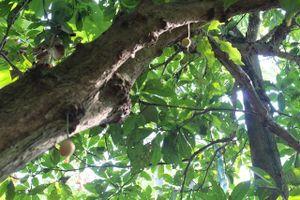 Thừa Thiên Huế: Nắng nóng kéo dài, dâu tiên xứ Truồi mất mùa nghiêm trọng