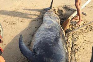 Hà Tĩnh: Xác cá voi có trọng lượng khoảng 1 tấn trôi dạt vào bờ biển