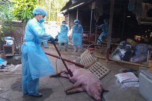 TP Hồ Chí Minh phát hiện ca bệnh dịch tả lợn châu Phi đầu tiên