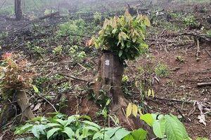 Khởi tố thêm 5 bị can tại BQL rừng phòng hộ Yên Thành