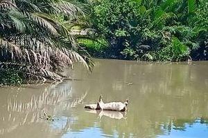 Bệnh dịch tả heo châu Phi đã lan đến thành phố Hồ Chí Minh