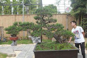 Doanh nhân Việt chi tiền tỷ mua 'vua bonsai' từ Nhật về ngắm