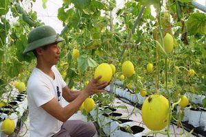 Sơn La: Trồng vườn dưa vàng chóe, được trái nào bán hết trái đó