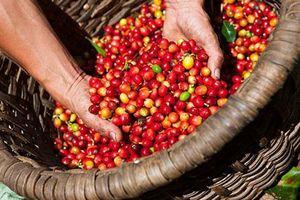 Giá cà phê liên tục giảm