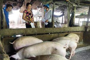 Sóc Trăng nỗ lực ngăn chặn dịch tả lợn châu Phi