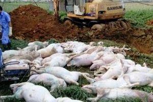 Hà Nội: 19% tổng đàn lợn bị tiêu hủy vì dịch tả lợn châu Phi
