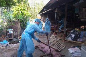 TP Hồ Chí Minh phát hiện ổ dịch tả lợn châu Phi