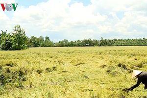 Nông dân Vĩnh Long khóc ròng khi lúa đổ rạp vì mưa gió