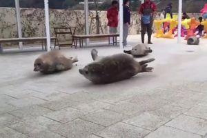 Tiết lộ cách di chuyển trên mặt đất vô cùng đáng yêu của hải cẩu