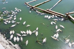 Đà Nẵng: Cá chết nổi lềnh bềnh trên hồ Thạc Gián là do… nắng nóng?