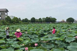 Chụp ảnh hoa sen, phó nháy thu nhập khủng 'khó lường'