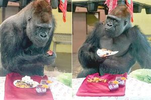 Khỉ đột bảnh bao 'vứt' hết hình tượng vì điều không ngờ