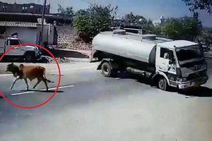 Clip: Bò thả rông lững thững sang đường, tài xế xe bồn bẻ lái 180° khét lẹt