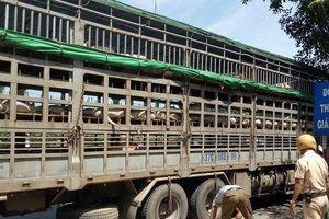Công an điều tra nghi vấn gian lận, khai khống lợn dịch để trục lợi ở Quảng Nam