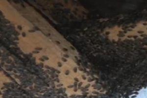 Phú Yên: Bọ đậu đen lúc nhúc 'đổ bộ' đảo lộn cuộc sống dân