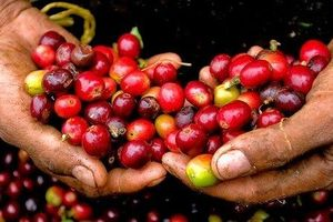 Giá cà phê hôm nay 12/6: Bất ngờ giảm mạnh 500 đồng/kg