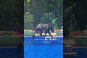 Chú gấu 'đột nhập' hồ bơi 'nhà người ta' để tránh nóng