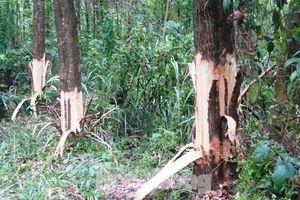 Bị tố chặt phá rừng cây của dân, chủ tịch xã ở Huế phân trần 'không cái ngu nào giống cái ngu như vậy'